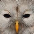 viirupöllö, ural owl, chouette de l'oural, strix uralensis