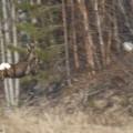 metsäkauris, kauris loikkaa