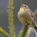 Keltasirkku laulaa puun latvassa.
