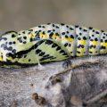 Pihlajaperhosen toukka