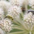 Lehtikantojäärä kiipeilee kukassa.