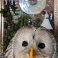 Viirupöllö ja Mauri Korhosen kollaasi