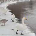 Laulujoutsenia talvella, Tyyrinvirta, Rautalampi.