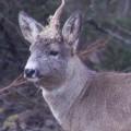 yksisarvinen metsäkauris, unicorn, roe deer,licorne