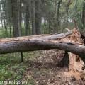heovmuurahainen, pesä, pesäpuu,kuusi