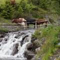 Lehmiä tunturipurolla.