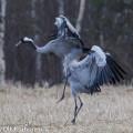 kurki,grue,crane