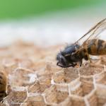 Pesään kuolleita ampiaisia kennostossa lähikuvassa