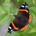 Amiraali odottaa perhosbaarin avautumista