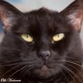 Kehräävä Siiri-kissa
