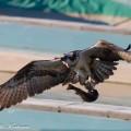 sääksi, kalasääski, osprey, fishing tow fish