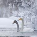Laulujoutsenia Talvisella Tyyrinvirralla