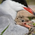 Kalatiiran poikanen ääntelee emon sylisssä.