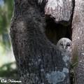 Viirupöllön poikanen pesäkolossaan