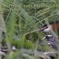 Silkkiuikku syöttää poikaselleen höyhenen.