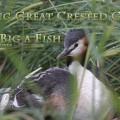 Silkkiuikun poikanen ja liian suuri kala