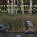 Harmaahaikarat kuuntelevat huuhkajaa