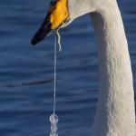 Jäähelmet - Laulujoutsen ja jäätynyt kalastajanlanka