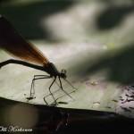 Toinen meistä on liikaa - sudenkorento ja kovakuoriainen