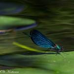 Varrella vihreän virran - Neidonkorento lumpeenlehdellä