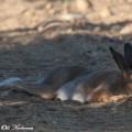 Metsäjänis nukkuu