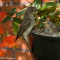 harmaasieppo, spotted flycatcher, gobemouche gris, muscicapa striata, grå flugsnappare, grauschnäpper