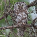 helmipöllö, Tengmalm's Owl, Chouette de Tengmalm, Aegolius funereus, Pärluggla, Rauhfußkauz