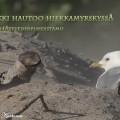 kalalokki, hiekkamyrsky,common gull sandstorm