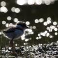 pikkutylli,vastavalo,linnun poikanen
