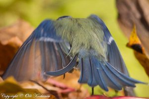 sinitiainen, blue tit