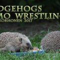 siili,hedgehog,herissons,erinaceus europaeus