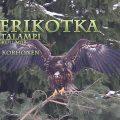 merikotka,white-tailed eagle,seeadler,Havsörn