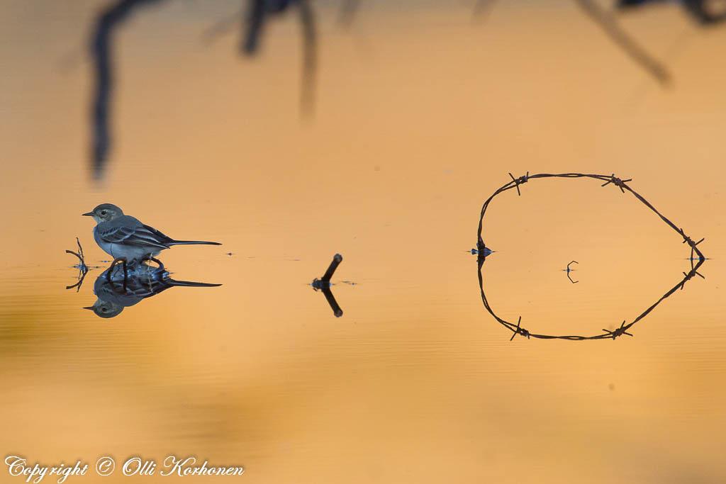 peilikuva,piikkilanka,lintu,västäräkki