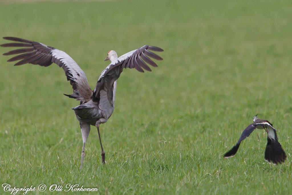 kurki,töyhtöhyyppä,common crane,northern lapwing